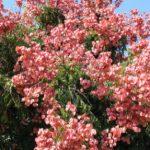 Кельрейтерия метельчатая, или Мыльное дерево (Koelreuteria pankulala)