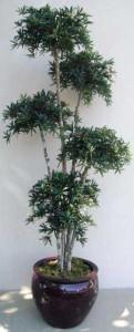 Нагейя, или Ногоплодник, Подокарпус (Nageia, Podocarpus nagi)