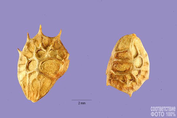 Onobrychis viciaefolia, Эспарцет