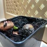 Афцелия проращивание семян