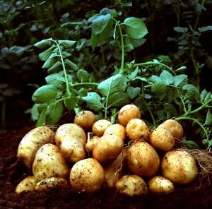 Картофель: советы по выращиванию