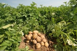 Советы по выращиванию картошки