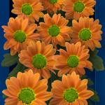 Ovada Orange