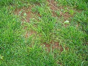 Подсев травы газона