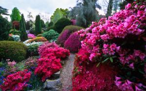 Рододендроны красота в цвете