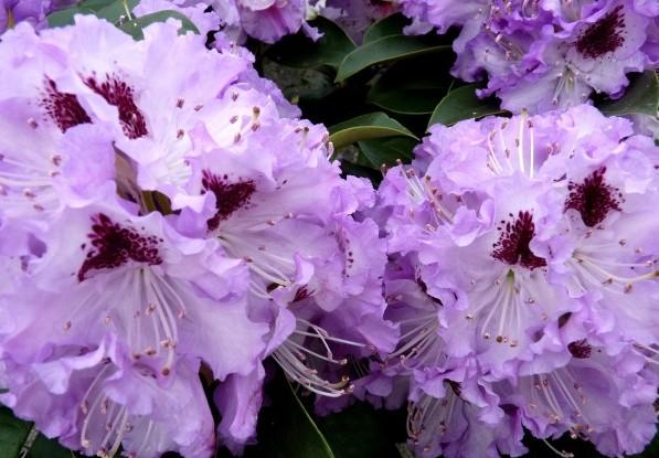 Рододендроны – красота в цвете