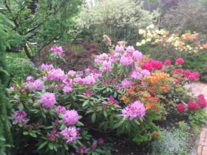 Рододендроны в саду фото