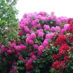 Рододендроны цветут