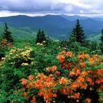 Рододендроны в природе