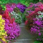 Рододендроны цветут фото