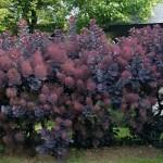 Скумпия кожевенная Royal Purple