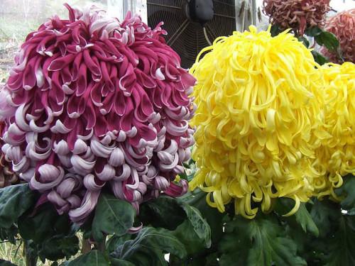 Новые цвета в палитре хризантем