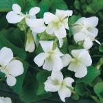 Фиалка садовая «Уайт Лэдис» («White Ladies»)