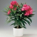 Олеандр, Nerium oleander
