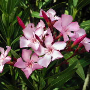 Олеандр, Nerium oleander (розовый)