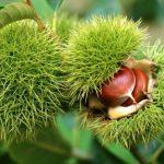 Каштан съедобный, Каштан американский или Каштан зубчатый (Castanea dentate)