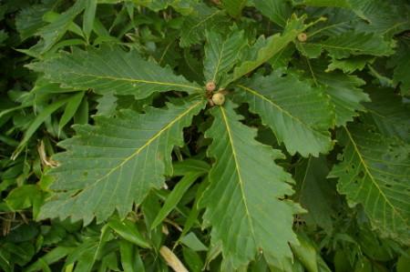 Дуб монгольский (Quercus mongolica)