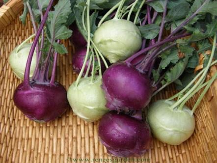 Кольраби — капустная репа, вкусная и полезная