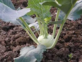 Кольраби – это скороспелая огородная культура
