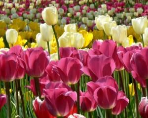 Фестиваль тюльпанов с 14 мая 2016 в Санкт-Петербурге