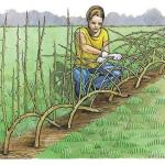 Создание изгороди средней высоты