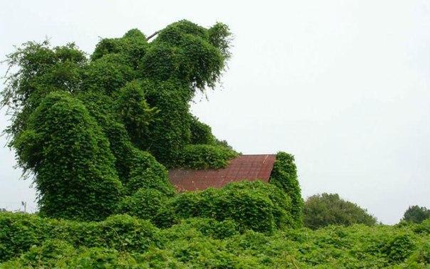 Кудзу – плющ, скрывающий дома
