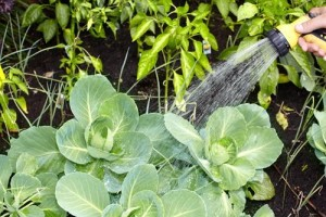 Полив капусты и овощей