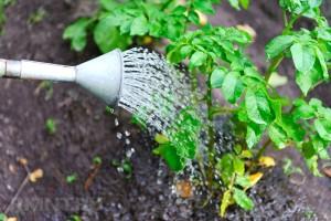 Нужен ли полив картофелю