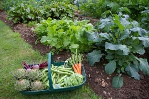 Полив овощей на огороде