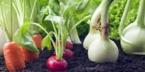 Сколько воды нужно моркови (свекле, редису, корневому сельдерею, дайкону)