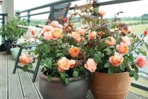 Розарий на балконе