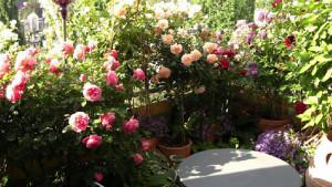 Розарий на террасе, розы на балконе