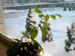 Зимовка роз дома