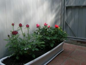 Выбор правильной кадки для роз на балконе