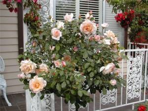 Розы на балконе, террасе, крыше