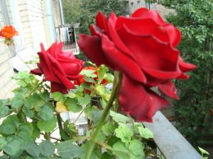 Розарий на балконе, розы на балконе