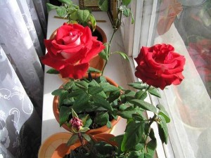 Розы на балконе, террасе