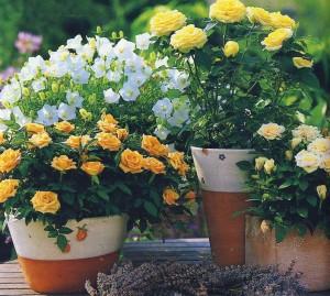 Выращивание роз на балконе начинается с выбора подходящего сорта