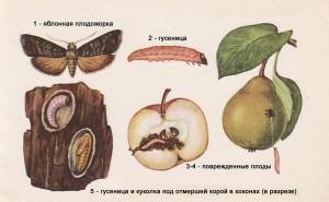 От плодожорки