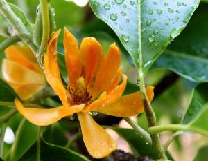 Михлея Чампака (Michelia champaca)