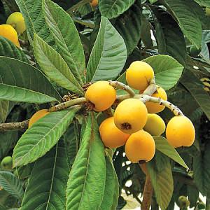 Мушмула японская, Эриоботрия японская, или Мушмула, или Локва, или Шесек (Eriobotrya japonica)