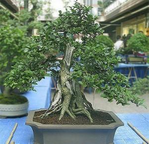 Бирючина японская (Ligustrum Japonicum)