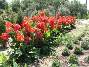 Канна красная (Canna indica)