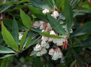 Элеокарпус сетчатый, Рудракша (Elaeocarpus reticulatus)