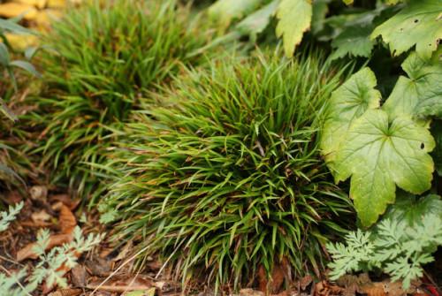 Ожика равнинная, Ожика слабоволосистая, Лузула (Luzula campestris)