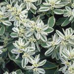 Молочай окаймленный, Эуфорбия маргината (Euphorbia marginata)