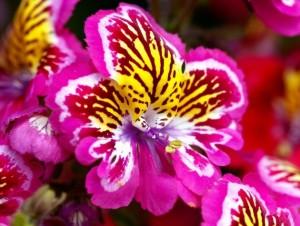 Схизантус (Шизантус, Schizanthus)