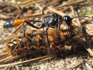 Оса-наездник поймала гусеницу, чтобы отложить в нее свои яйца