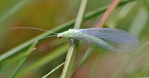 Зелёная, или коричневая златоглазка (Chrysopidae)