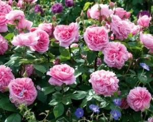 Роза «Гертруда Джекилл»